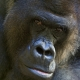 Gorilla-looking-at-me
