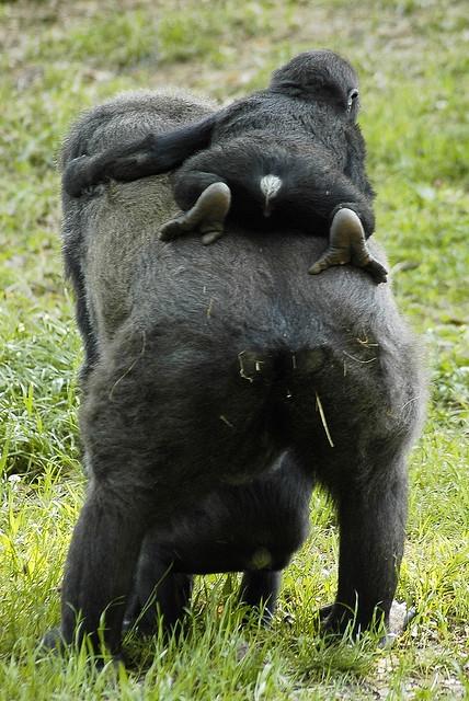 A-Gorillaback-ride