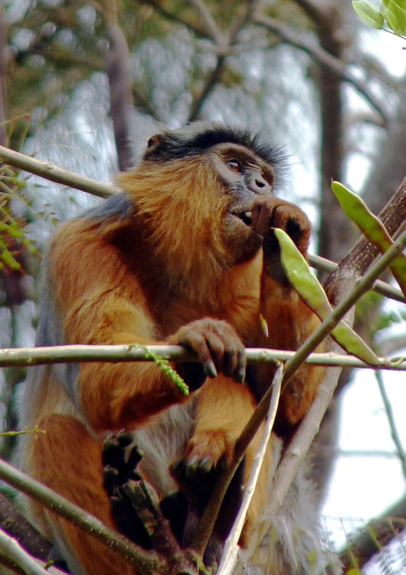 Red Colobus Monkey in The Gambia.
