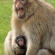 Stay clear of my baby Macaque