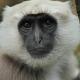 White faced Langur monkey
