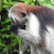 Beautiful colours and hair on the Zanzibar Red Colobus