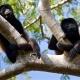Two Howler monkeys take a break