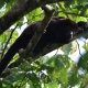 Mantled-Howler-Monkey-2-3