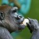 Posh-female-gorilla