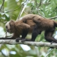 Brown Capuchin Monkey Female carrying  her young