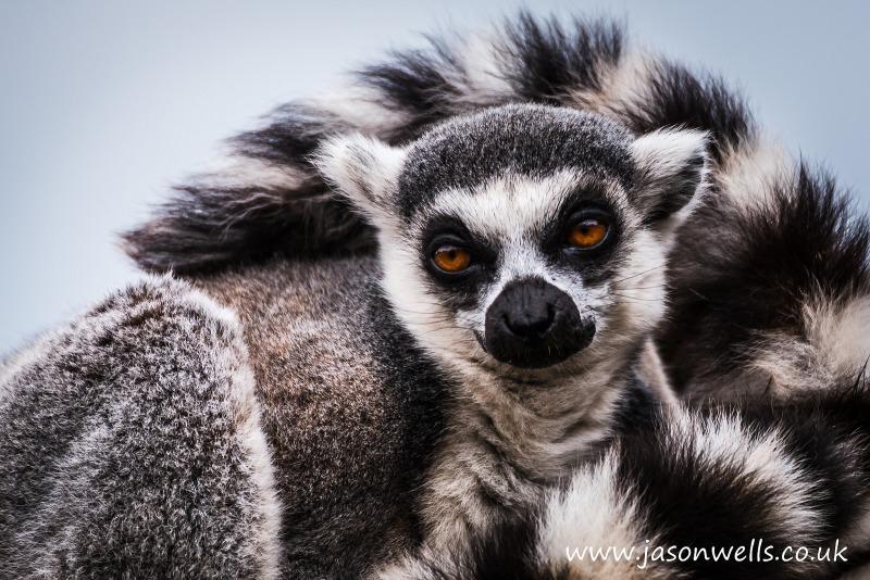 Lemur at South Lakes Zoo in Cumbria.