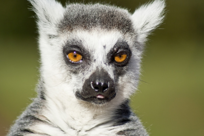 Ringed Tailed Lemurs in the United Kingdom