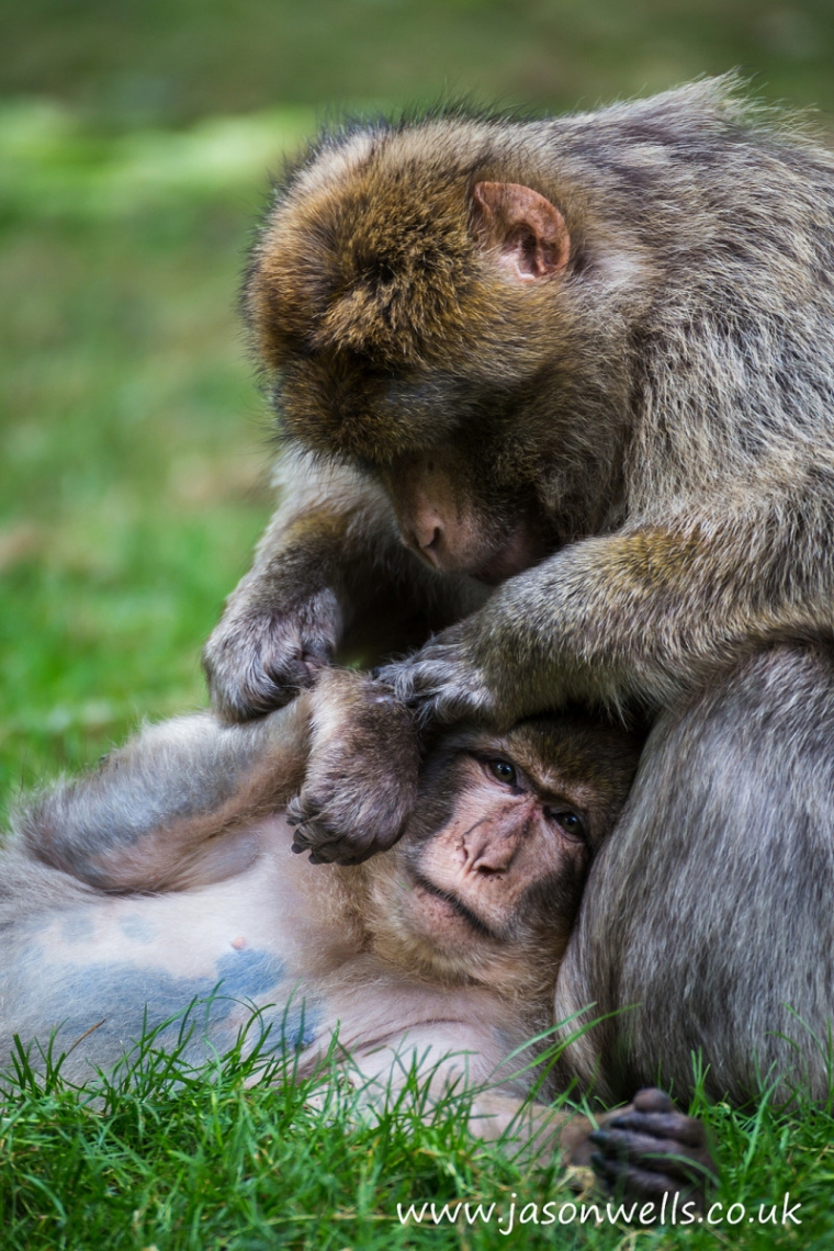 Pair of Barbary Macaques taking it in turns to clean