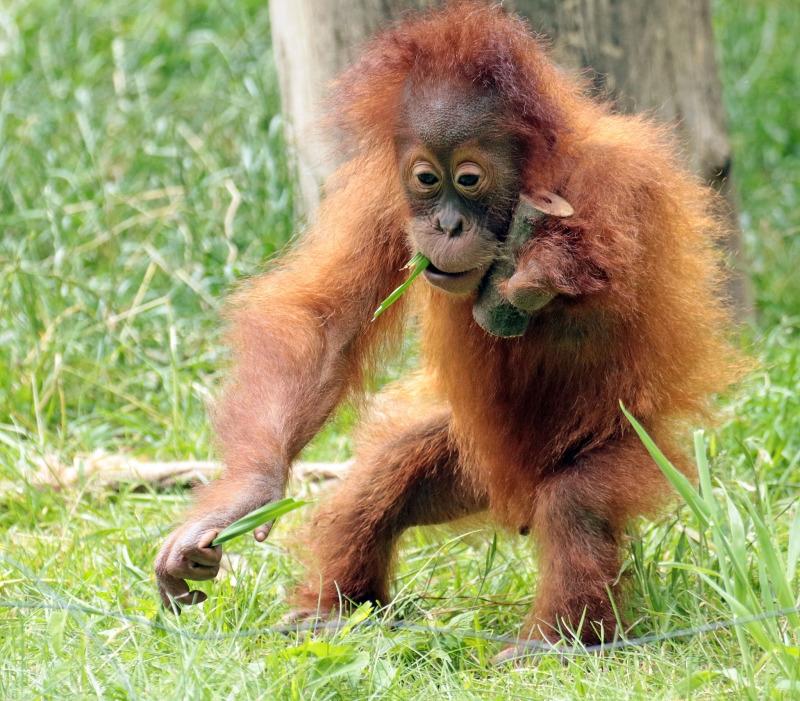 Baby Oranutan trys walking