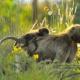 Ethiopia-Gelada-baboon-1