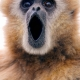 A big surprise for this Gibbon