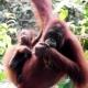 Malaysian Orangutans in a tree