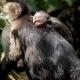 Capuchin-baby-3