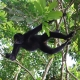 Maquisapa-Spider-Monkey