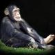 Chimpanzee in the spotlight in the UK