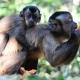Cebus-apella-apella-Brown-Capuchin-Monkey