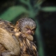 Baby Pygmy Marmoset sleeping