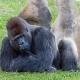 JJ  the Lowland Gorilla at Miami Zoo