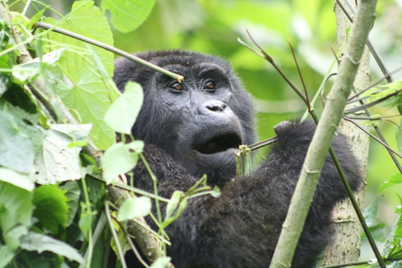 Young Gorilla having a quick meal