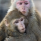 Two-macaques-1