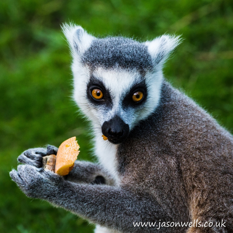 Close-up of a ring tailed lemur eating.