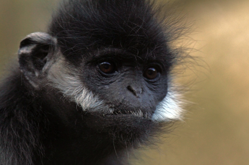 Langur with white cheeks