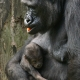 Gorilla mother with baby in her arms