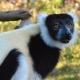Black-and-white-Ruffed-Lemur-2