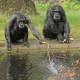 Fishing-chimps