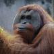 Sumatran Orangutan - Found at the Audubon Zoo in New Orleans, LA, USA