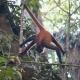 Spider-Monkey-Casa-Corcovado