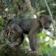 Gele-baviaan-Uganda-2
