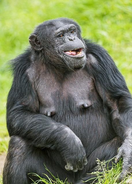 Chimpanzee-sitting