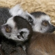 Lemur-babies