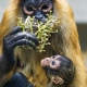 Mother and baby spider monkey eating grapes