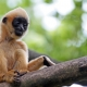 This baby Gibbon looks uncomfortable in his tree