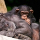 Young-chimpanzee-and-sleeping-mother