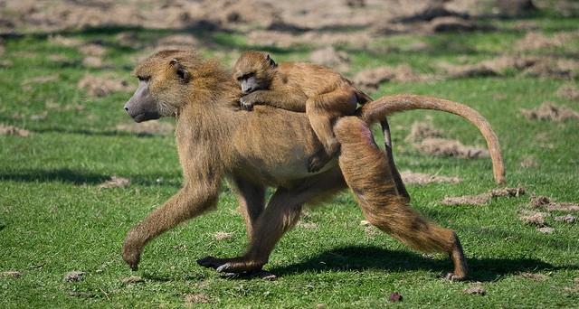 Guinea-Baboon