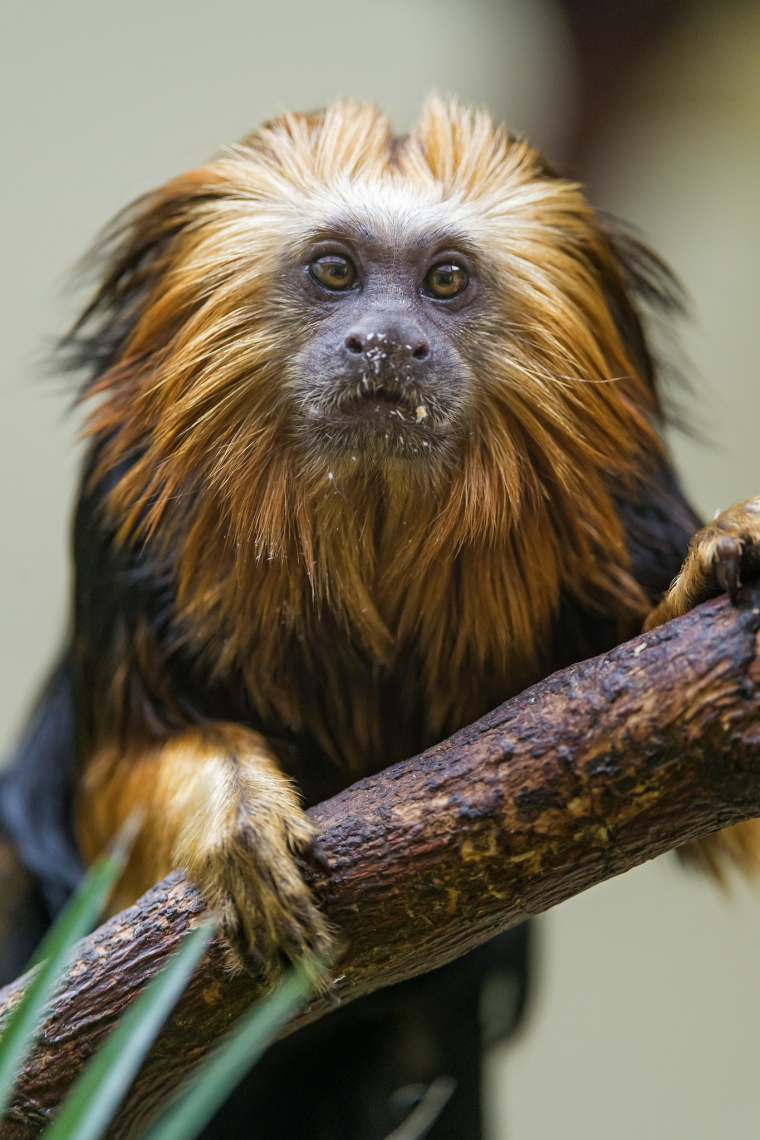 Lion-tamarin-on-the-branch