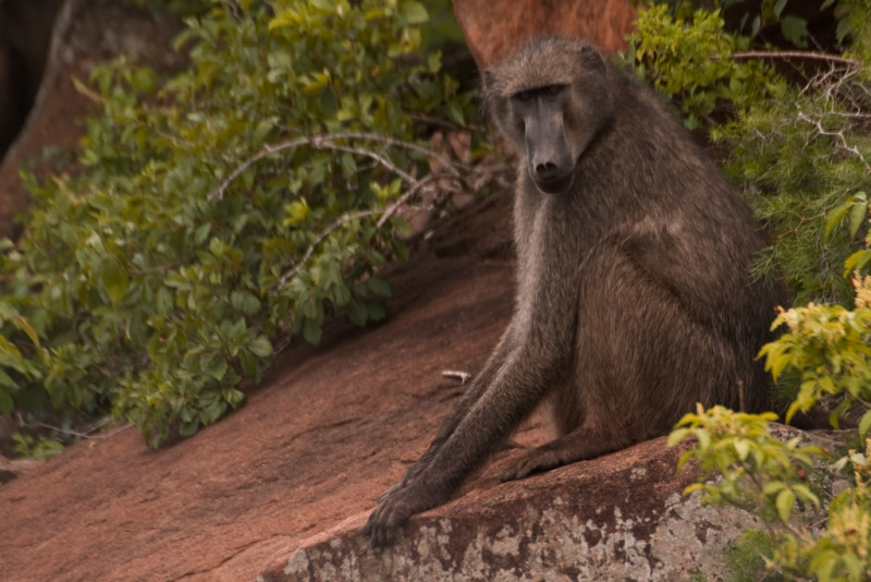 Baboon relaxes on his rock