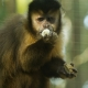 Brown-Capuchin-Monkey-1