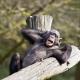 Lazy Monkey resting on a branch