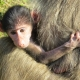 Holding onto a Baboon Baby