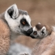 Ring tailed Lemur kissing