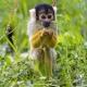 Squirrel-monkey-in-the-grass