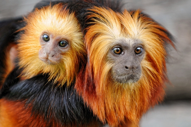 Golden-headed-lion-tamarin-mother
