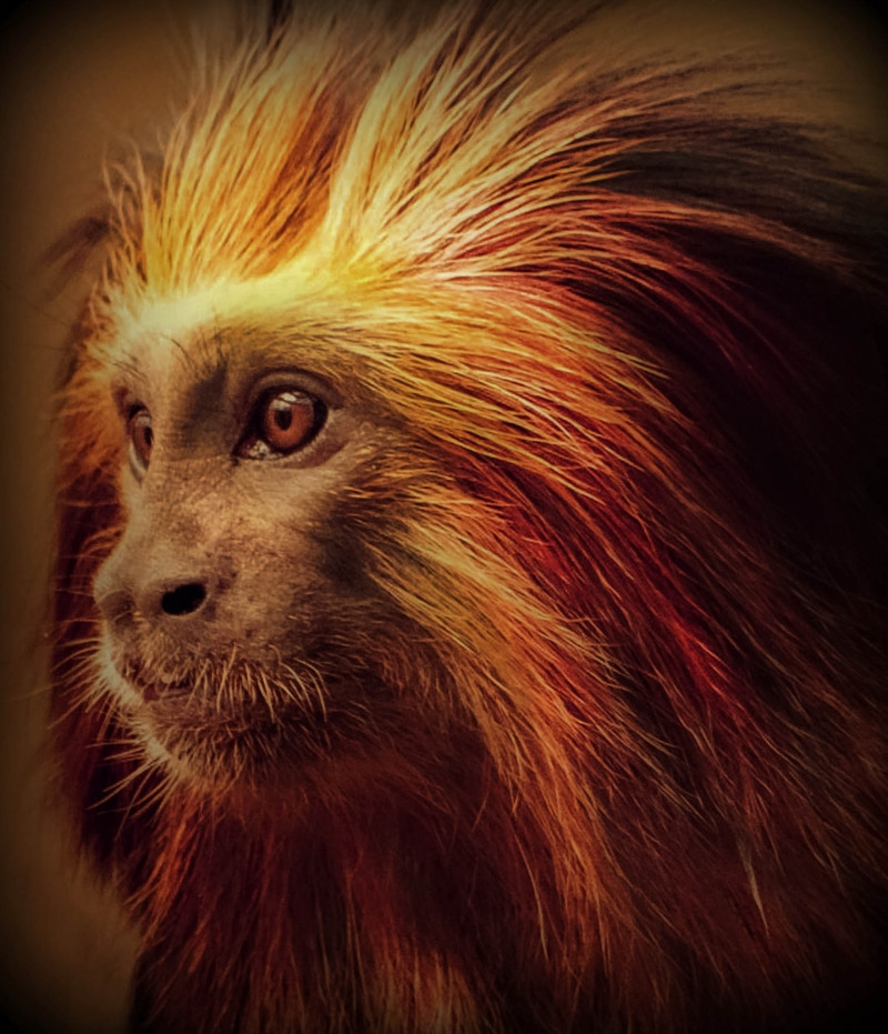 Stare from a red haired primate