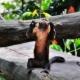Bite the twig Mr Capuchin Monkey