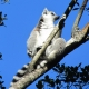 Ring-tailed-Lemur-2